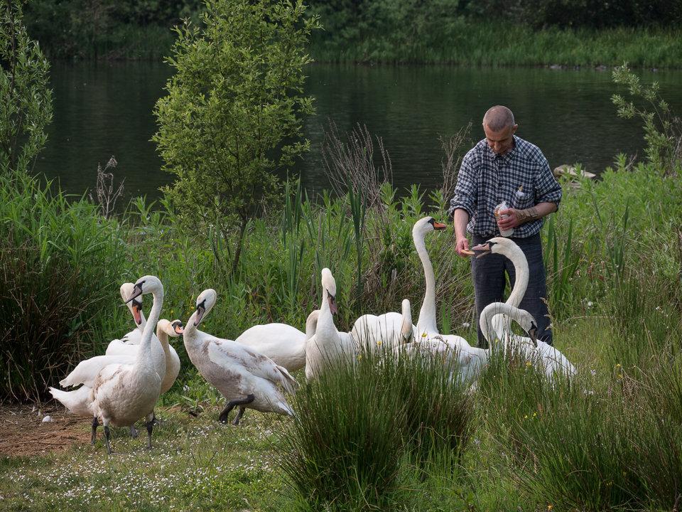 Man Feeding the Swans