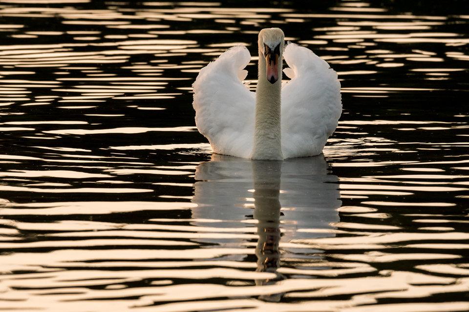 Hogganfield Swan