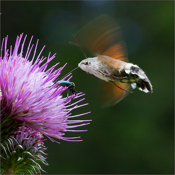 Humming-bird Hawk-moth