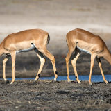 Impala Bookends