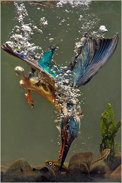 Kingfisher Catching Minnow