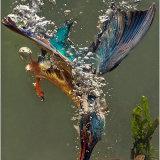 Kingfisher Catching Minnow
