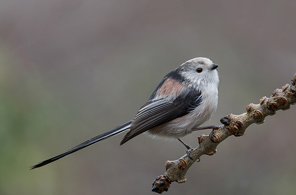 Longtailed Tit in Winter