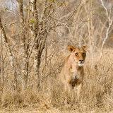 Lurking Lioness