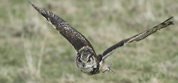 Mckinders Eagle Owl