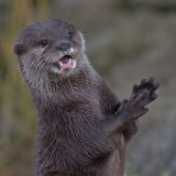 Oriental Short Tailed Otter