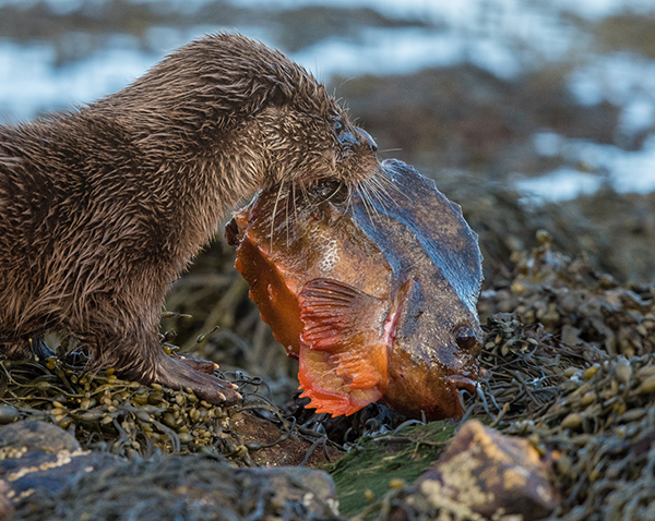 Otter with Catch