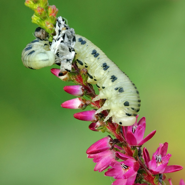 Pine Sawfly Larva Moulting