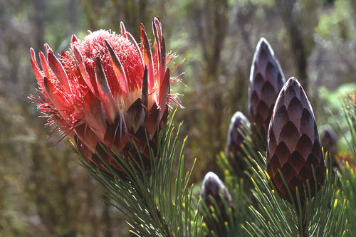 Protea aristata