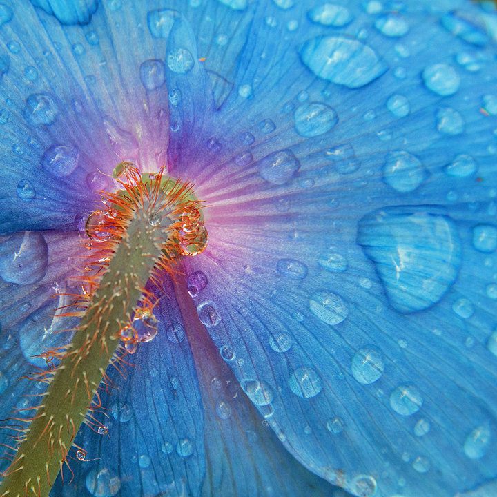 Raindrops on a Blue Poppy