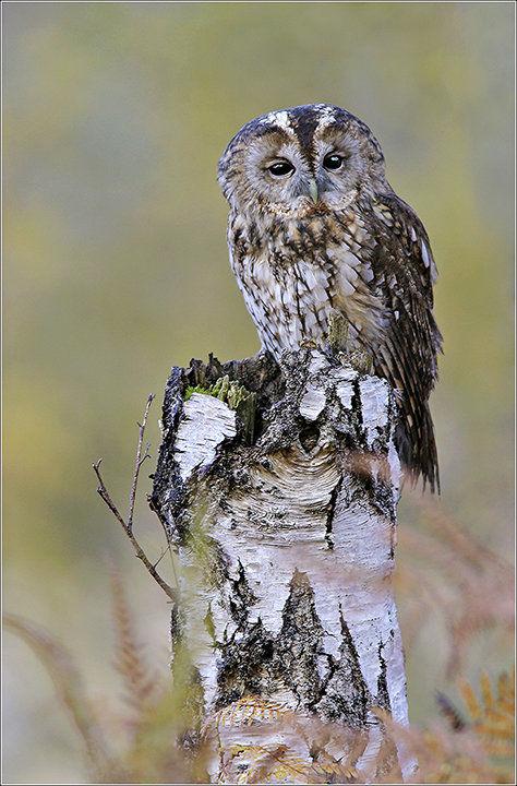 Tawny Owl on Birch
