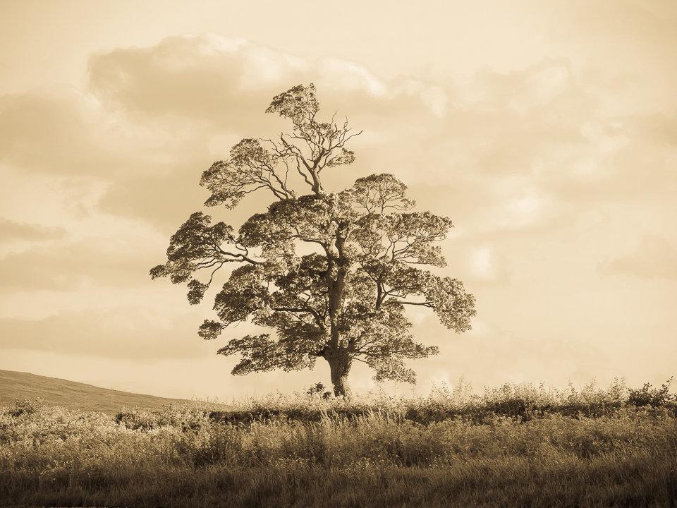 Tree at Ardmore