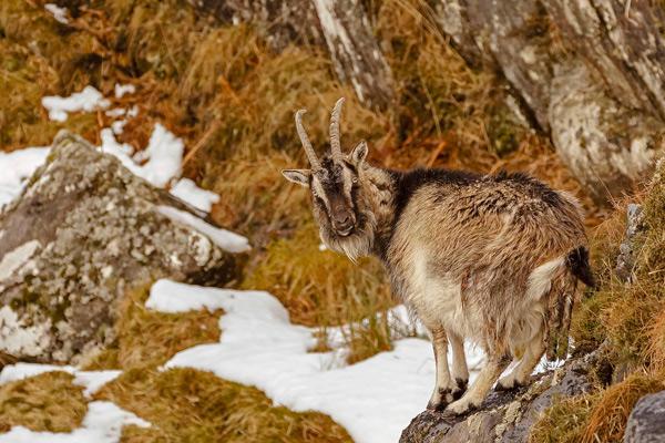 Wild Goat Giving Birth