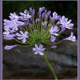 Giant headed Allium