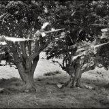 Offerings tree/Rag tree Tara, Co. Meath