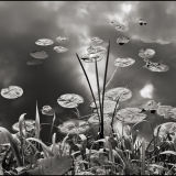 Water Lilies and Reeds