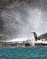 Heron with wave
