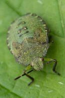 Green Shieldbug-9707