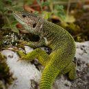 Lizard-4045