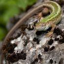 Lizard-4219