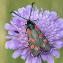 6 Spot Burnet Moth