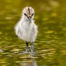 Avocet Chick