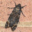 Deaths Head Hawk Moth