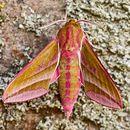 Elephant Hawk Moth