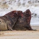 Fighting Bull Seals