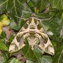 Oleander Hawk Moth (F)
