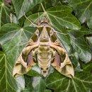 Oleander Hawk Moth (M)