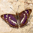 Purple Emporer