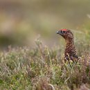 Red Grouse (M)