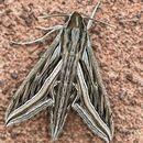 Silver Stripped Hawk Moth