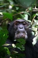 Chimps at Kibale