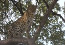 Leopard in tree.