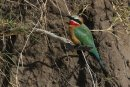 White fronted Bee-eater.