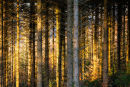 Pines and Light
