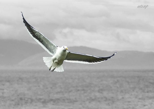 Black backed gull, 0254, Waiorua Bay, Kapiti Island