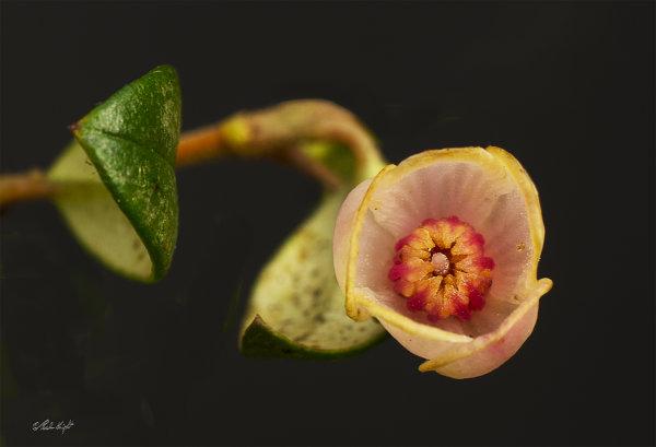 Cranberry flower 0547