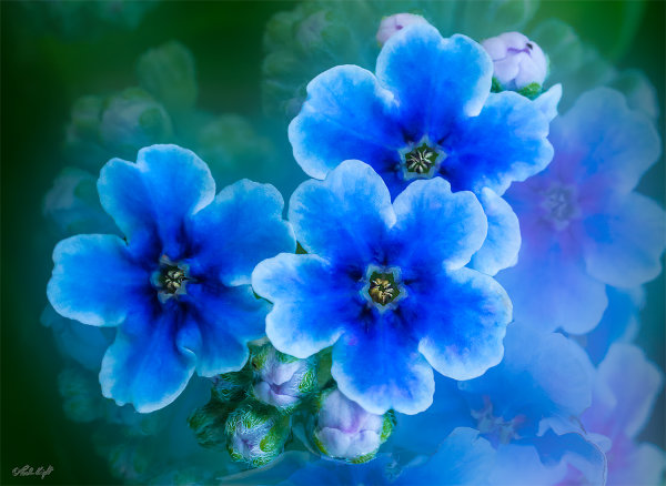 Forget-me-not 1216-4