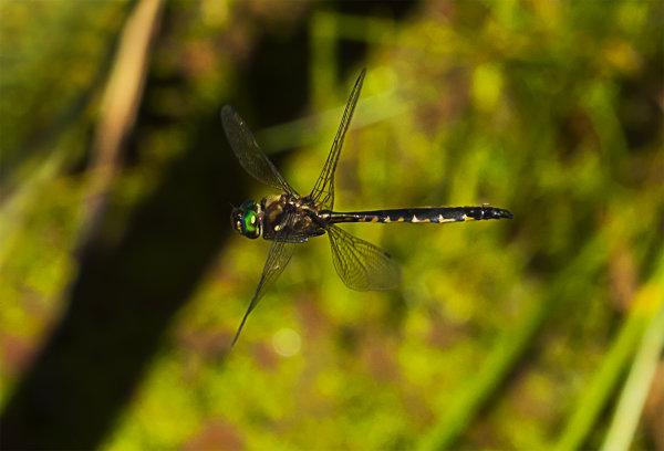 Dragonfly 2666 at Huritini Lake