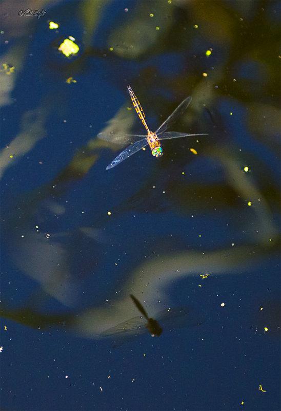 Dragonfly 2713 at Huritini Lake
