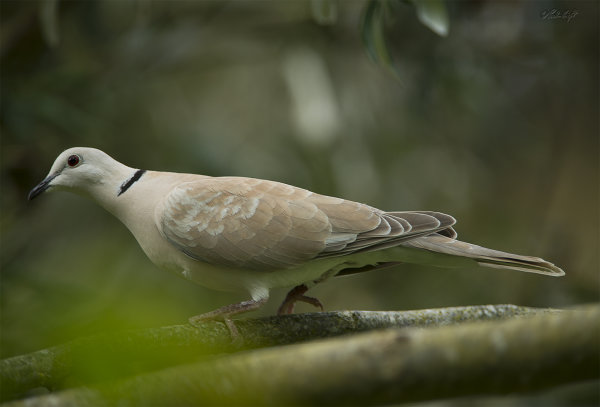 Turtle/Barbary Dove 2276