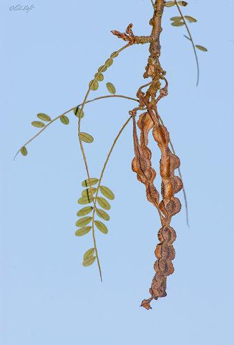 Kowhai seed pod 1805