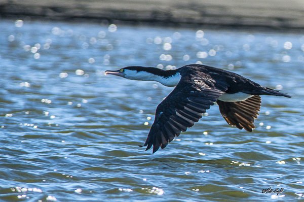 White-fronted shag 1761