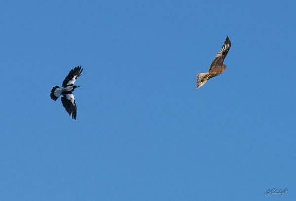 Magpie&hawk_1999
