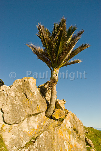 A Nikau palm growing out of rock