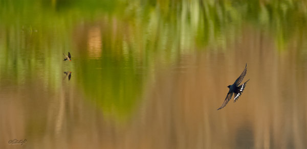 Swallows onChrystall's Lagoon 0051