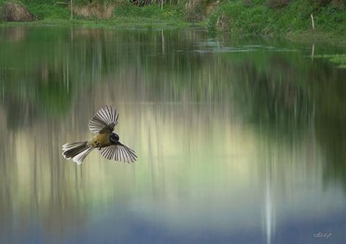 Lagoon fantail 0072